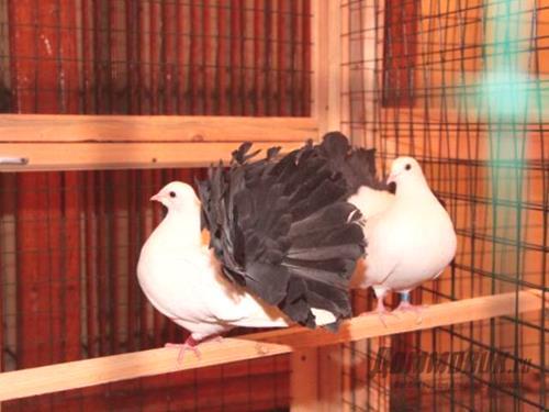 jak velké jsou ptáci trpaslíci